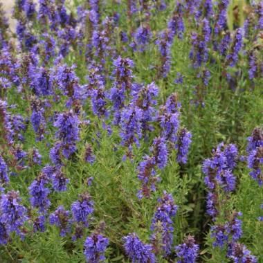 Hyssopus officinalis subsp. aristatus (Issopo aristato)