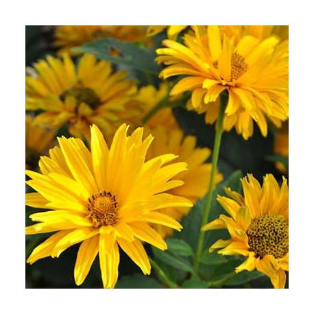 Heliopsis helianthoides 'Bressingham Doubloon'