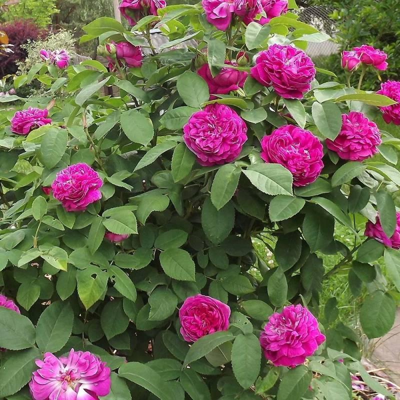 Piante A Cespuglio Da Giardino : Rosa rose de rescht vivaio online un quadrato di giardino