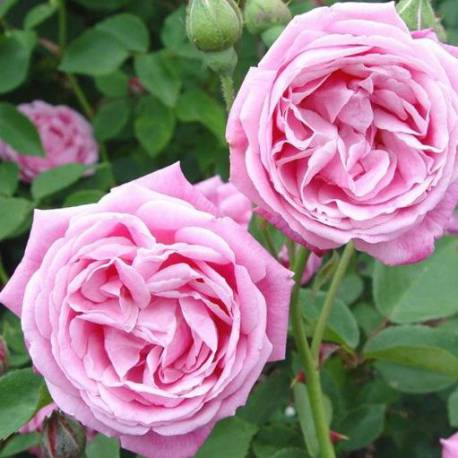 Rosa 'Hermosa'