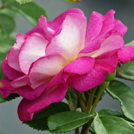 Rosa 'Outta The Blue'