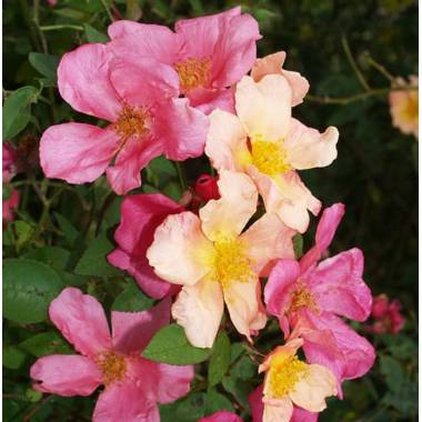 Rosa 'Chinesis Mutabilis'