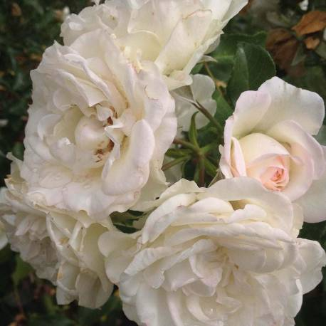 Rosa 'White Meidiland'