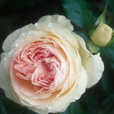 Rosa 'Pierre de Ronsard' (sin. 'Meiviolin')