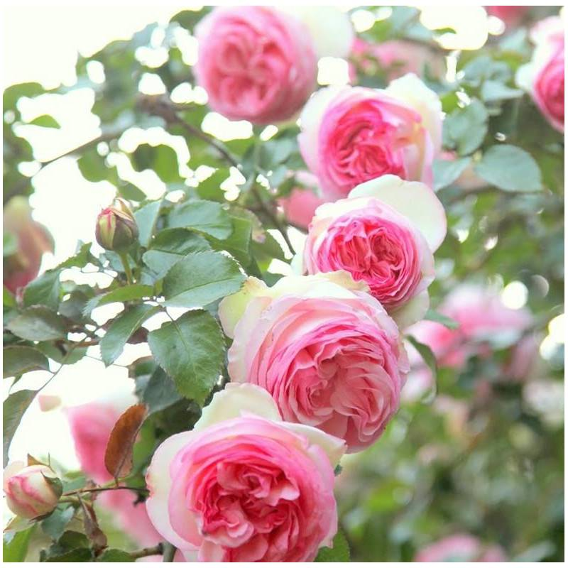 Rosa 39 pierre de ronsard 39 sin 39 meiviolin 39 vivaio for Pierre de ronsard rosa