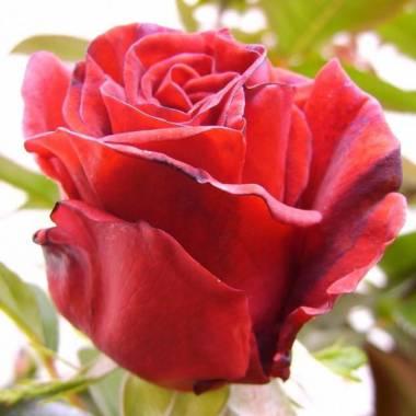Rosa 'Red Flame' (sin. 'Comandante Cousteau', 'Le Grand Huit')