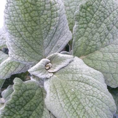 Plectranthus argentatus
