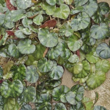 Begonia hydrocotyfolia