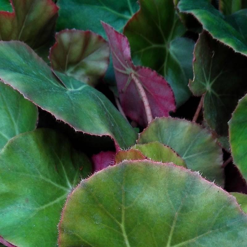 Begonia erythrophylla - Vivaio online Un Quadrato di Giardino