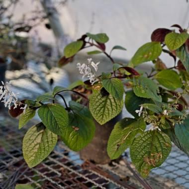 Plectranthus ciliatus