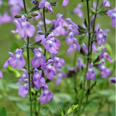 Salvia greggii 'Violin Music'
