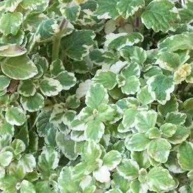 Plectranthus coleoides 'Variegatus'