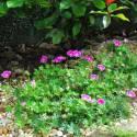 Geranium x sanguineum 'Elke'