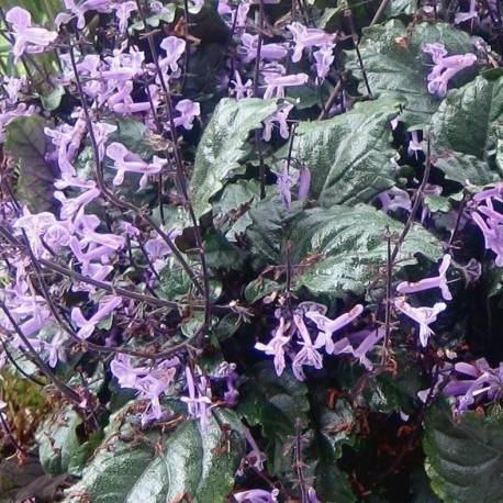 Plectranthus ecklonii 'Mona Lavender'