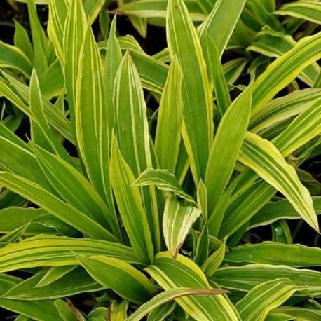 Carex siderosticha 'Island Brocade' sin. 'Shima-nishiki'