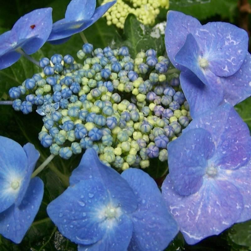 Hydrangea macrophylla 39 blaumeise 39 for Piante e fiori perenni