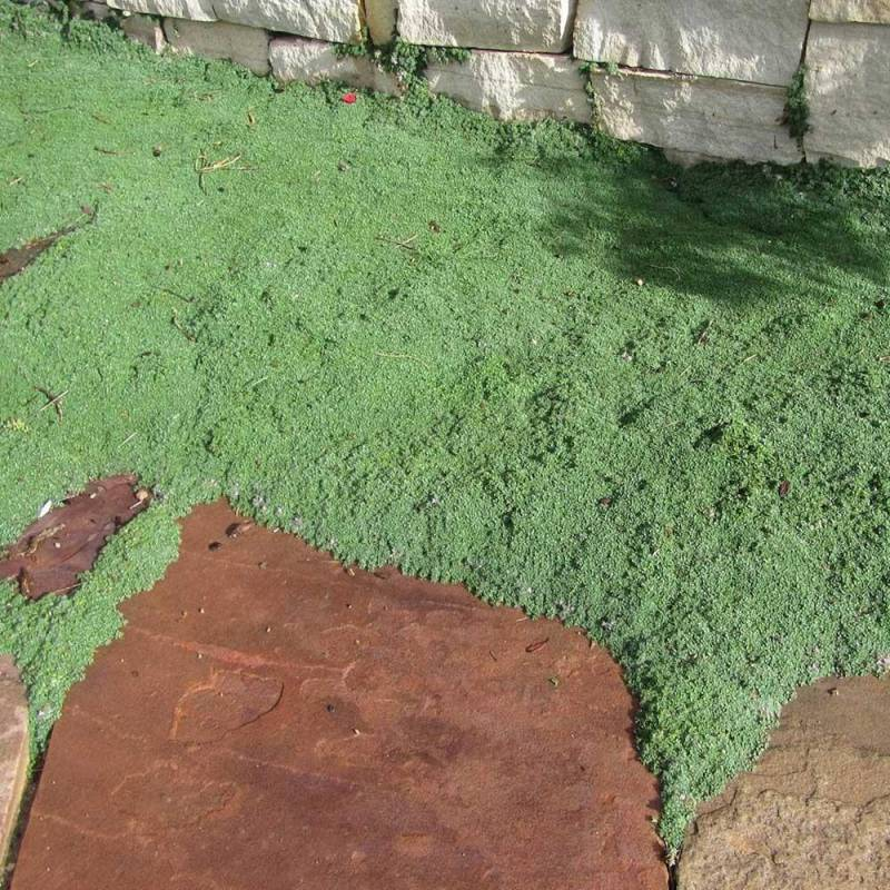 Thymus praecox elfin vivaio online un quadrato di giardino for Piante aromatiche perenni