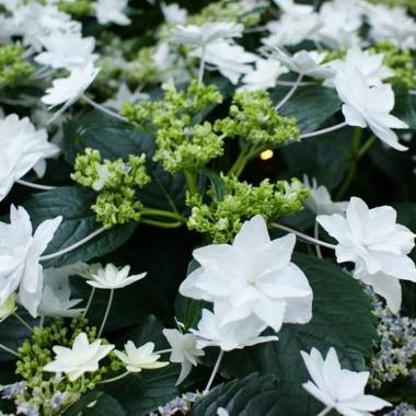 Hydrangea macrophylla 'Hanabi'