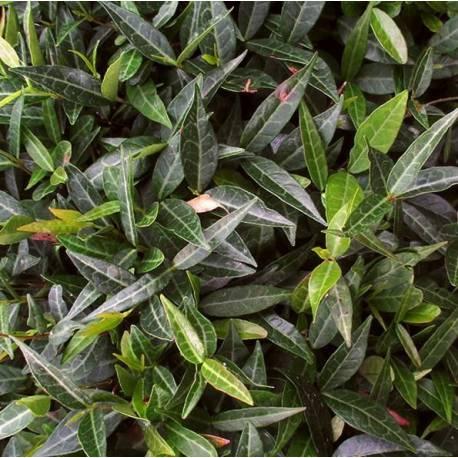 Trachelospermum jasminoides 'Angustifolia'
