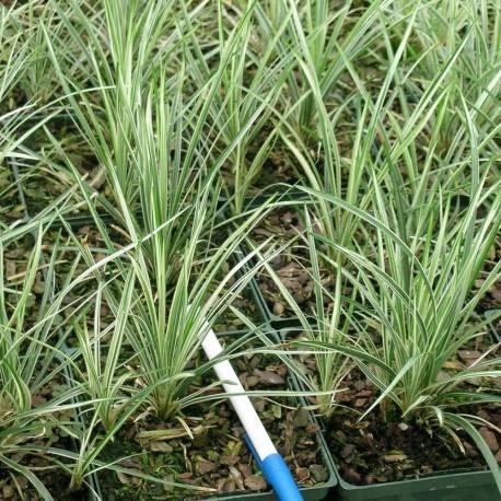 Ophiopogon japonicus 'Variegatus'