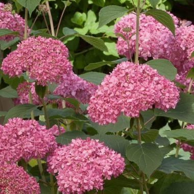 Hydrangea arborescens 'Invincibelle Spirit '