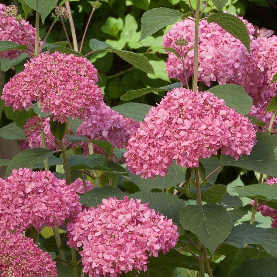 Piante in vaso da esterno resistenti al freddo gelsomini for Cespugli fioriti perenni resistenti al freddo