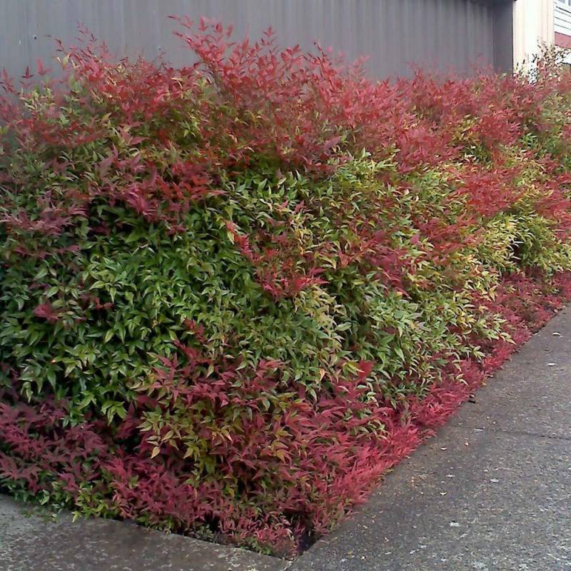 Nandina domestica for Pianta nandina