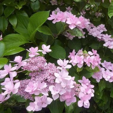 Hydrangea macrophylla ' Izu no hana'