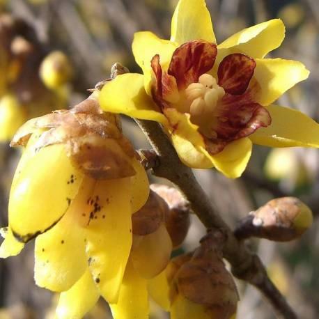 Chimonanthus praecox 'Grandiflorus' (Calicanto d'Inverno-Calycanthus)