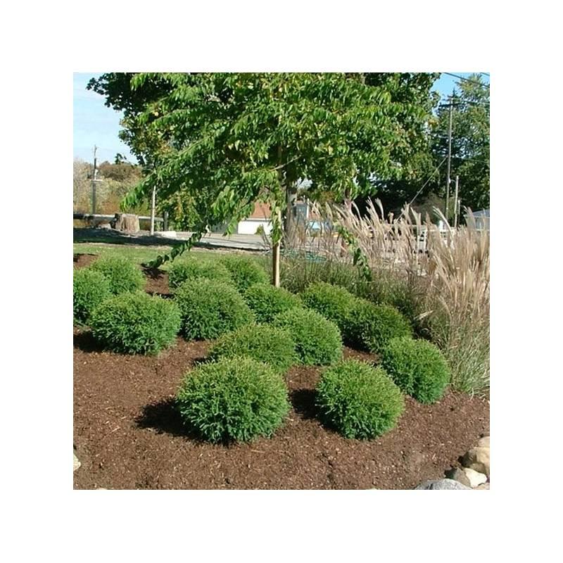 Thuja occidentalis 39 tiny tim 39 vivaio online un quadrato for Arbusti fioriti perenni