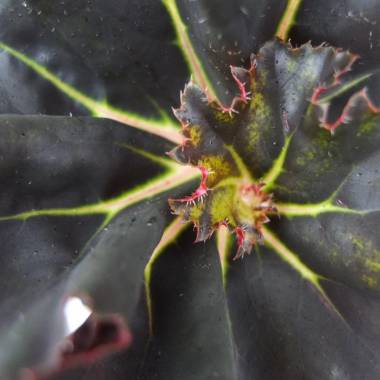 Begonia 'Black Fancy'