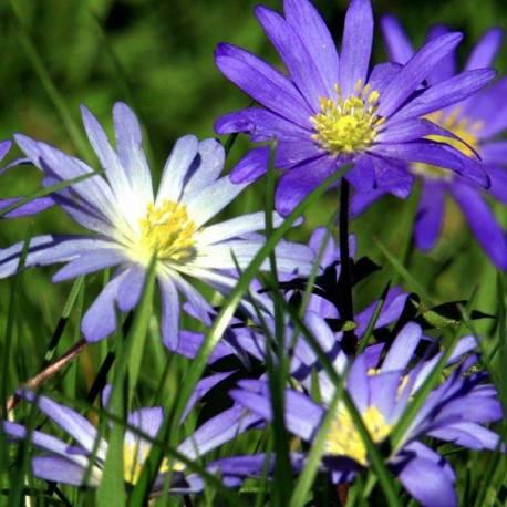 "Anemone blanda ""Blue Shades"""