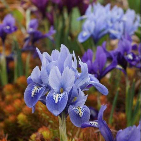 Iris reticulata (mix)