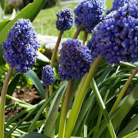 "Muscari armeniacum ""Blue Spike"""