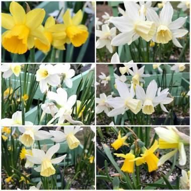 Narcissus (mix di specie e ibridi nani)