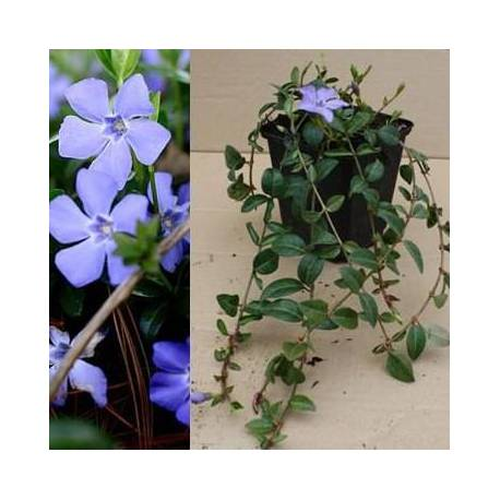 Vinca minor x 30 piantine vaso quadrato 9 cm