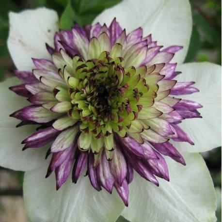 Clematis florida 'Sieboldii' (var. sieboldiana)