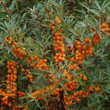 Elaeagnus rhamnoides (Olivello spinoso, femmina)