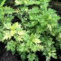 Artemisia vulgaris 'Oriental Limelight'