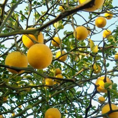 Poncirus Trifoliata (Citrus triptera, arancio trifogliato)