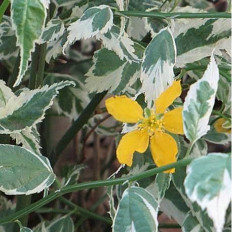 Kerria japonica 'Variegata' (sin. 'Picta')
