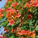 Campsis × tagliabuana 'Madame (Mme) Galen'