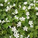 "Oxalis articulata ""Alba"" (sin. O. floribunda, O. crassipes)"