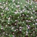 Geranium hybrid 'Dreamland' (sin. 'Bremdream')
