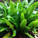 Asplenium scolopendrium (sin. Phyllitis scolopendrium)