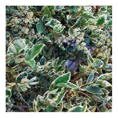 Ligustrum japonicum 'Texanum Silver Star'