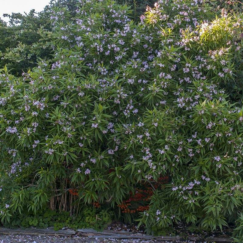 Chitalpa tashkentensis vivaio online un quadrato di giardino - Catalpa zanzare ...