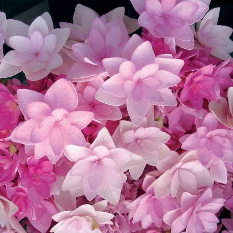 Hydrangea macrophylla 'Youmefour', 'You and me For Ever'