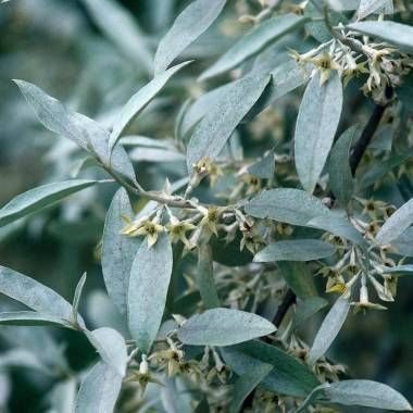 Elaeagnus commutata 'Quicksilver'