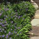 Iris cristata 'Abbey's Violet'